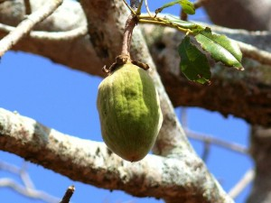 Le Baobab ou Adansonia digitata : Une plante à usages multiples et à grande capacité antioxydante