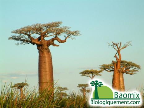 Le baobab, un arbre d'une incomparable richesse, fruits, racines, écorces et feuilles (Adansonia digitata L)