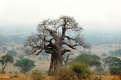 Le Baobab sauvage Emblème du Sénégal