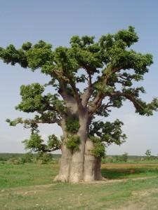 Arbre baobab Adansonia