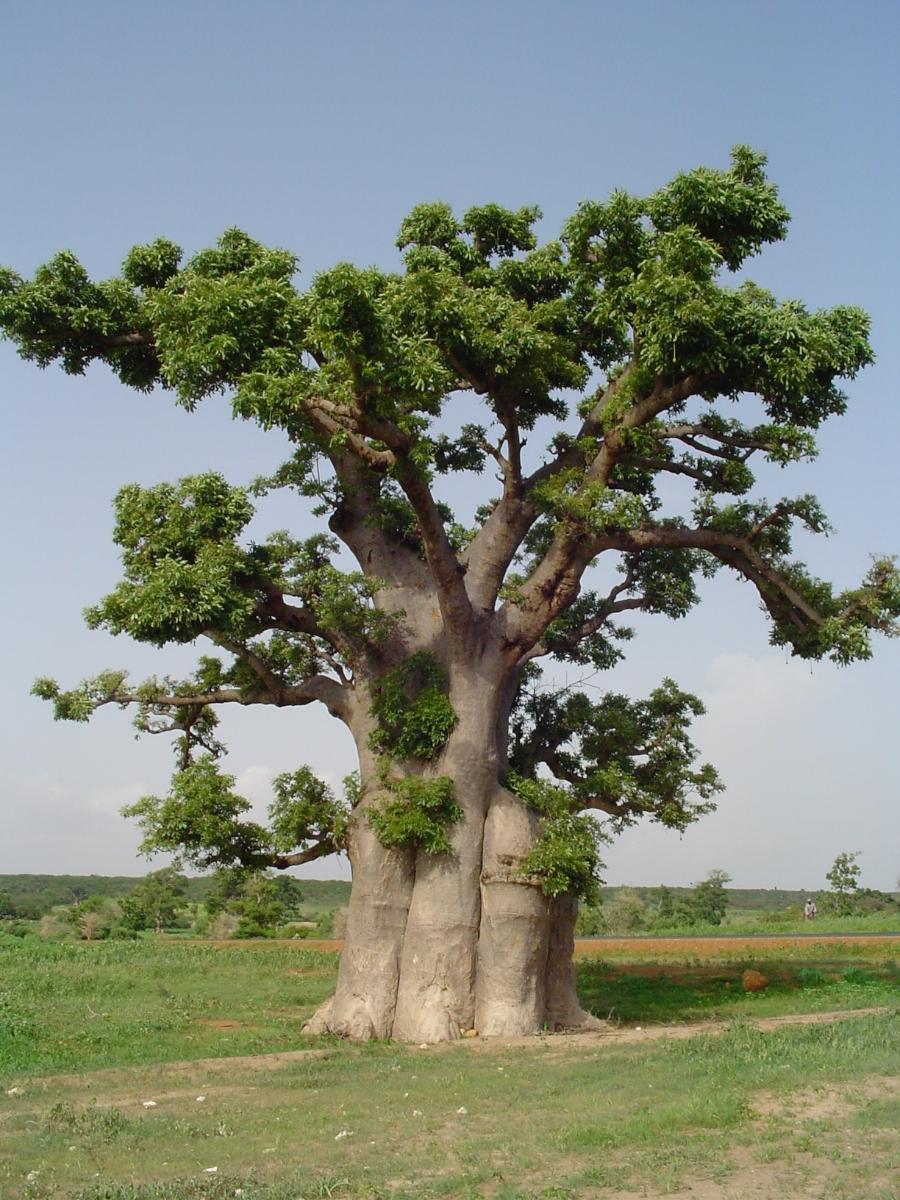 baomix.com/wp-content/uploads/2014/07/baobab-bio-arbre-baomix-biologiquement-poudre-fruit-feuille-fleur-adansonia-9.jpg