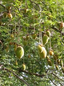 Le Baobab ou Adansonia digitata Une plante à usages multiples et à grande capacité antioxydante