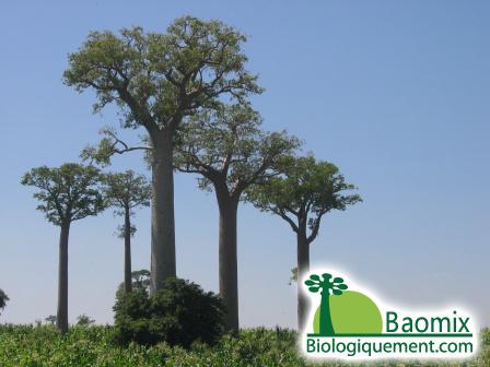 Pistes Madagascar Vidéo, Allée de Baobabs