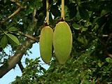 baoab_frucht