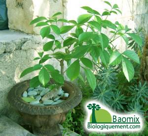 UTILISATIONS DU BAOBAB Adansonia digitata DANS LA PHARMACOPEE TRADITIONELLE AFRICAINE
