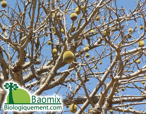 Fruits du Baobab