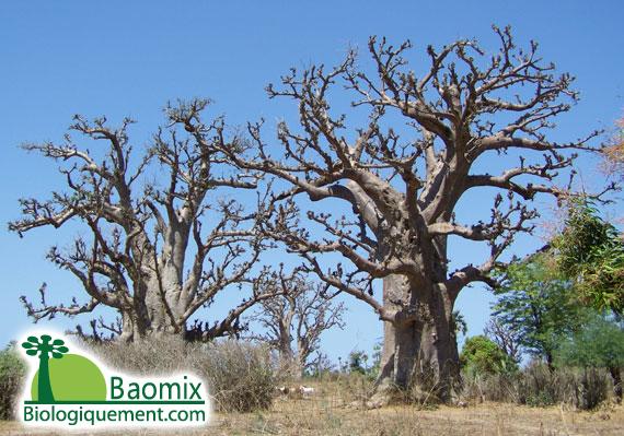 Baobab au Sénégal, saison sèche