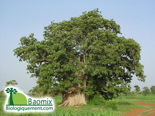 Baobab, arbre africain a caudex du genre Adansonia