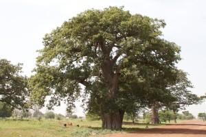 Arbre baobab adansonia digitata