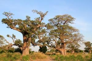 Arbre baobab bio sauvage adansonia digitata
