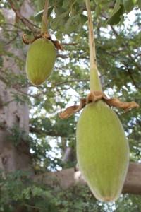 Le fruit du baobab bio d'où est extraite la graine pour produire l'huile