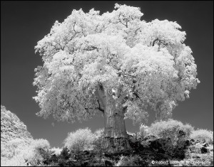 Le baobab par Robert Barnett