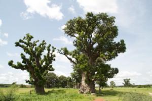 Le baobab sauvage bio au Sénégal