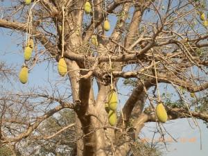Le fruit du baobab bio, pain de singe sur l'arbre avant la récolte