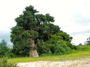 Le baobab sauvage qui produit le pain de singe bio