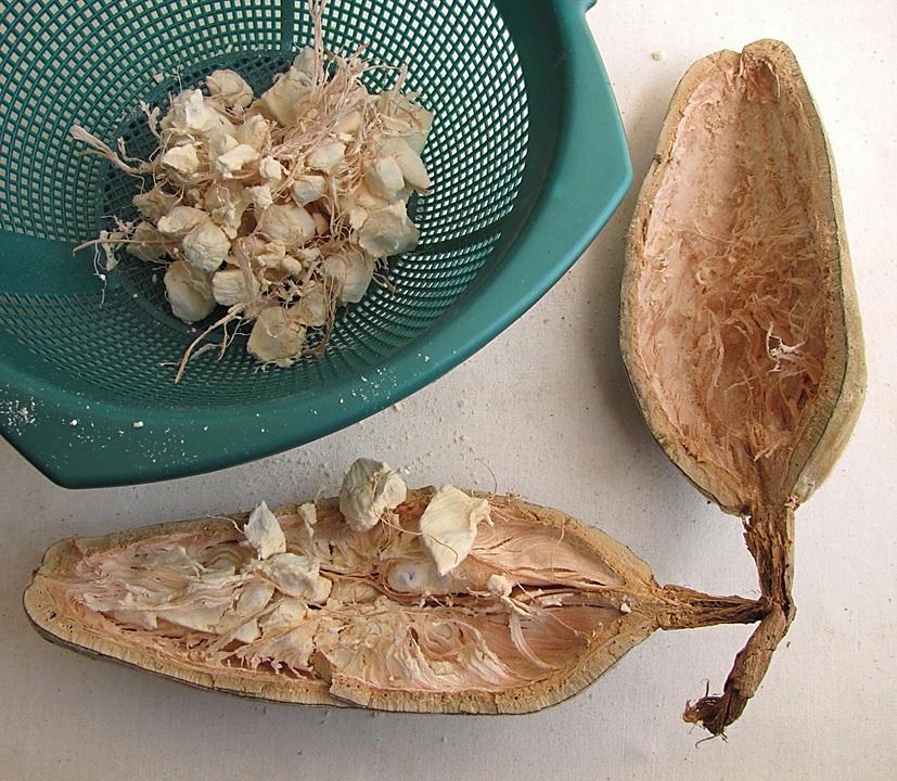 Le fruit du baobab bio Baomix ouvert laissant apparaître ça pulpe